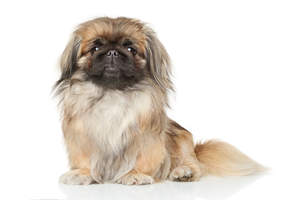 A light brown Pekingese sitting to attention