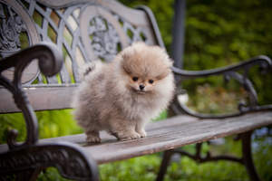 A beautiful, young Pomeranian puppy with a wonderful, thick, soft coat