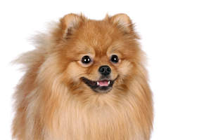 A close up of a Pomeranian's beautiful little eyes and thick, red coat