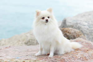 An adult Pomeranian with a beautiful, snow white coat