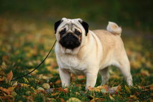 A close up of a Pug's beautiful, little, curly tail and and thick, blonde coat