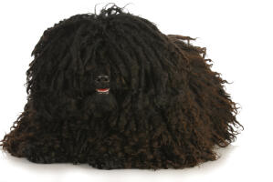 A Puli's beautiful, little nose poking out from it's thick, tightly curled coat