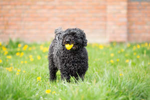 An adult black Puli playing outside in the