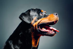 A close up of a Rottweiler's strong, masculine face
