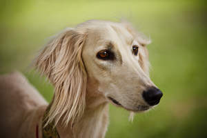 A close up of a Saluki's beautiful long nose and soft ears