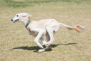 A healthy adult Saluki running at full pace across the grass