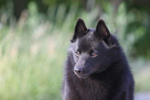A close up of a Schipperke's beautiful little eyes and thick soft coat