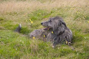 A beautiful, wire coated Scottish Deerhound laying in the grass