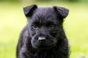 A close up of a Scottish Terrier puppy's beautiful little ears and wiry coat