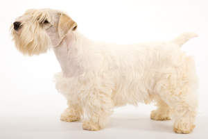 A beautiful, adult Sealyham Terrier showing off it's short body and thick, soft coat