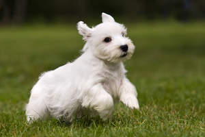 A wonderful little Sealyham Terrier puppy bounding across the grass