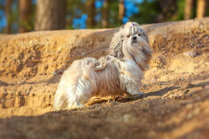 A Shih Tzu with a incredibly, long coat showing off it's beautiful, short legs