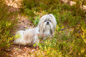 A beautiful, little Shih Tzu poking it's head out of the undergrowth