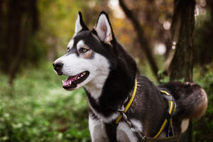 A Siberian Husky's lovely white face and thick black body coat