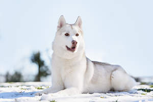 A healthy adult Siberian Husky with an incredible thick, white coat