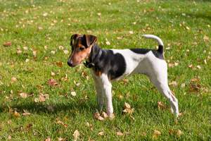 A wonderul little Smooth Fox Terrier showing off it's short body and long legs