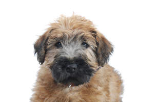 A Soft Coated Wheaten Terrier puppy's beautiful little face and floppy ears