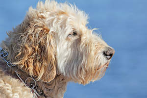 A close up of a Soft Coated Wheaten Terrier's beautiful scruffy beard