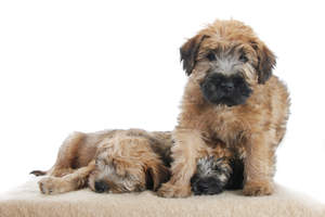 Three wonderful, little Soft Coated Wheaten Terriers sharing each others warmth