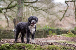 A healthy adult Spanish Water Dog standing tall, showing off its wonderful physique
