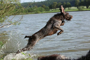A healthy adult Spinone Italiano bounding into the water