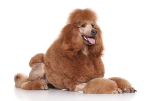 A Standard Poodle with an incredibly groomed brown coat