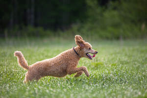 A wonderful brown coated Standard Poodle bounding through the grass