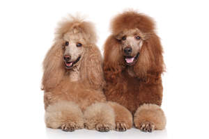 Two beautifully groomed Standard Poodles, both with thick, brown coats