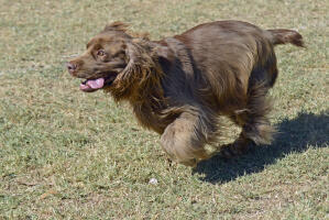 A Sussex Spaniel running at full pase across the grass
