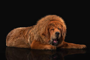 A Tibetan Mastiff's incredible, thick, fox coloured coat