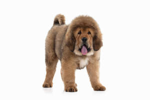 A Tibetan Mastiff showing off it's wonderful large paws and big, bushy coat