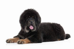 A Tibetan Mastiff with an incredible black, soft, thick coat