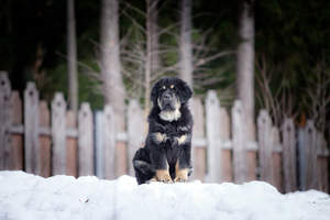 A lovely, little Tibetan Mastiff puppy sitting patiently, waiting for a comand