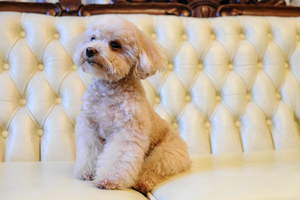 A beautiful, little Toy Poodle resting up on the sofa