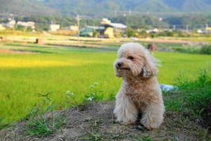 A lovely, little Toy Poodle with an incredibly groomed, blonde coat
