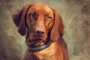 A close up of a Vizsla's beautiful, big, floppy ears and short red coat