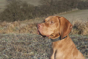 A close up of a Vizsla's strong, stern head