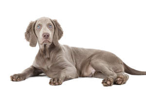 A beautifully soft Weimaraner puppy with striking, pale eyes