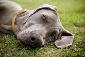 A close up of a tired Weimaraner beautiful, soft ears