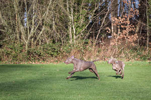 Two lovely adult Weimaraners playing together on the grass