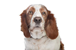 A close up of a Welsh Springer Spaniel's beautiful soft