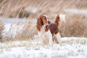 A lovely little Welsh Springer Spaniel with a beautiful, white and brown tail