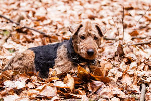 A lovely, little Welsh Terrier lying in the leaves