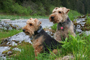 Two wonderful Welsh Terriers sitting neatly, waiting patiently for a command