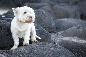 A beautiful West Highland Terrier with a lovely, white coat