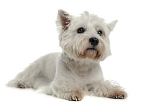 A beautiful little West Highland Terrier, showing off its lovely, little brown beard