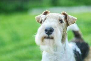 A close up of a Wire Fox Terrier's incredible, scruffy beard