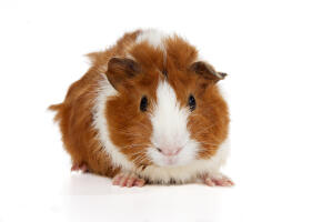 A beautiful little Abyssinian Guinea Pig with soft ginger and white fur