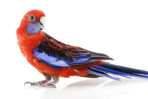 A Crimson Rosella's beautiful, blue and black tail feathers
