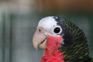 A Cuban Amazon's wonderful pink, white and black and green feather pattern
